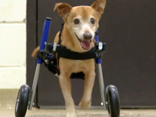 Abused dog Lt. Dan gets a new wheelchair