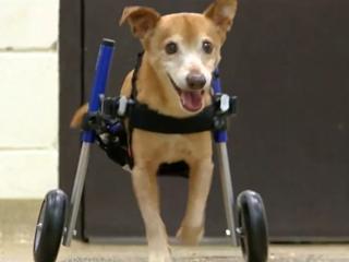 Abused dog Lt. Dan gets a new wheelchair