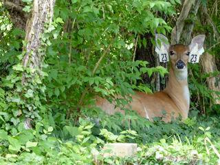 How should we handle deer overpopulation?