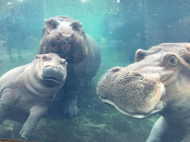 Fiona hangs with hippo family for first time