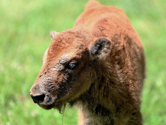 Big Bone Lick: Where the buffalo roam