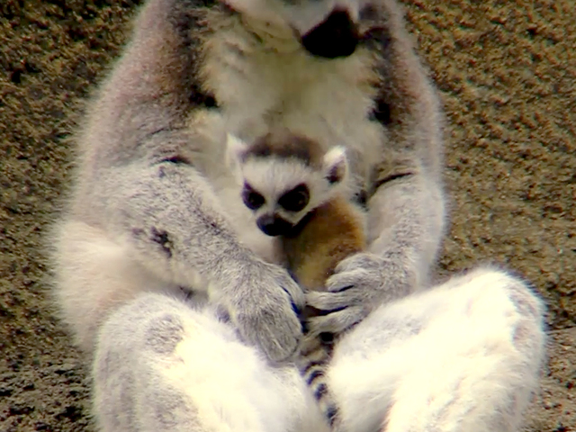 Daww Check Out The Cincinnati Zoos New Baby Lemurs