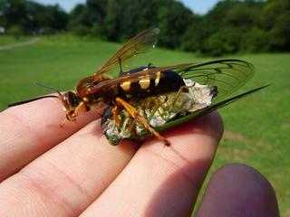 Those aren't hornets, they're cicada killers