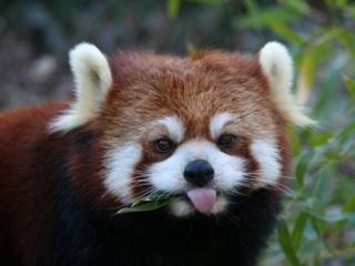 Cincy Zoo says goodbye to 17-year-old red panda