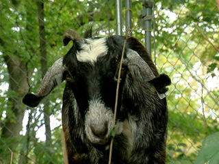 Middletown woman accused of torturing goat