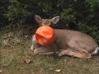 'Pumpkinhead' deer rescued by Ohio neighbors