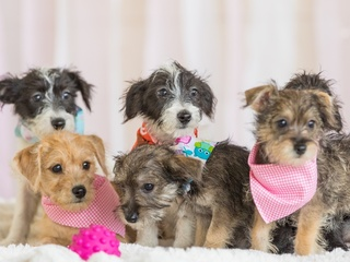 Discount purebred puppies, but are they real?
