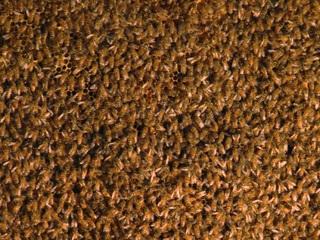 50,000 honeybees spend decades colonizing garage