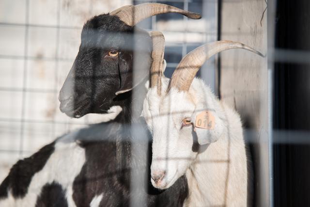 No kidding: Fibonacci wants you to name goats