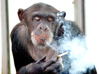 Trial over smoking chimp was no monkey business