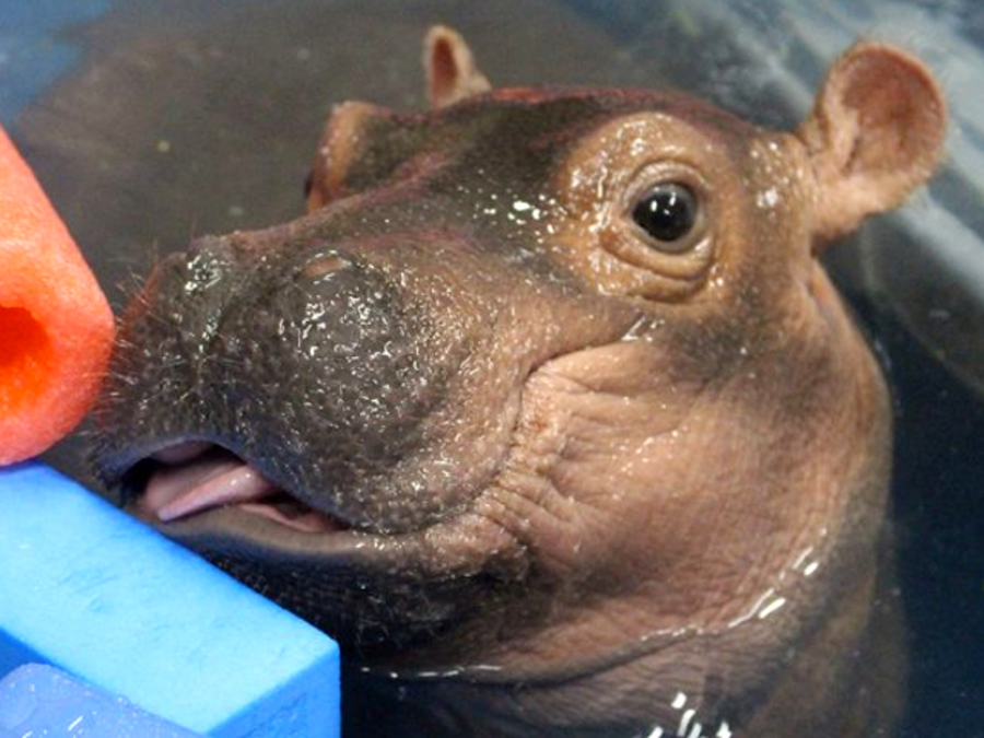 The Cincinnati Zoo S Prematurely Born Hippopotamus Fiona