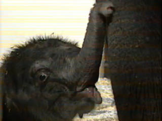 Vault: Zoo's baby elephant was super cute, too