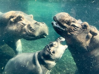 Hippos are officially a big, happy family