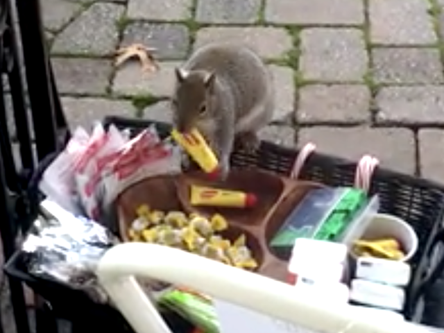 Image Result For Fat Squirrel Steals Pricey Goods Left Out For Delivery Folks
