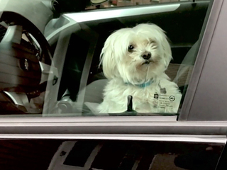 Would you rescue a dog from a hot car?