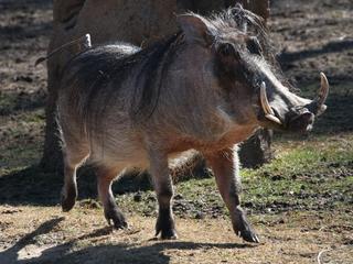 Warthog raised by humans adjusts to animal life