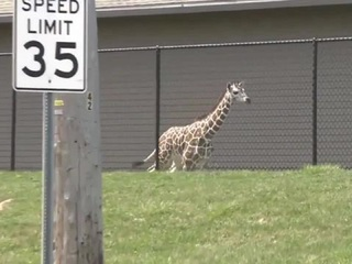 Giraffe makes a run for it at Indiana zoo