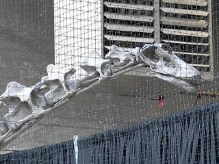 Rare dinosaur going on display at Rhinegeist