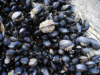 Scientists have detected opioids in mussels