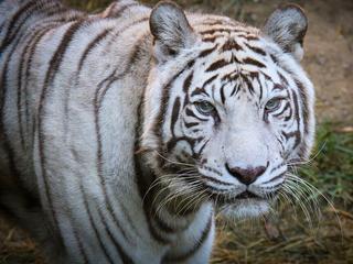 Zoo's last white tiger, Popsy, dies at 22