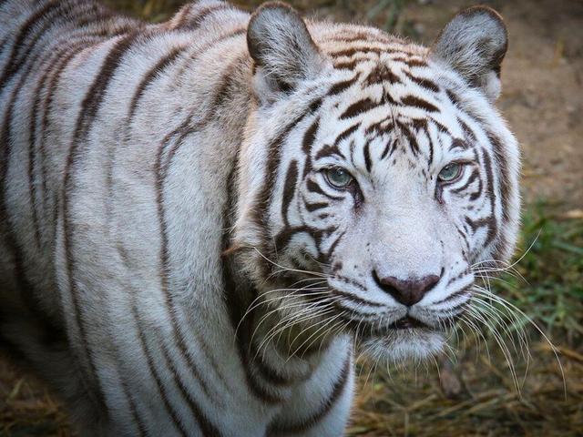 cincinnati zoo s last white tiger popsy dies at 22 wcpo