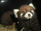 Alert: Baby red pandas will be out soon at zoo