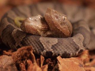 Two-headed snake on exhibit in Kentucky